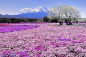 Thiên đường hoa Chi anh dưới chân núi Phú Sỹ