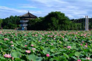 Mùa sen tại công viên Deokjin