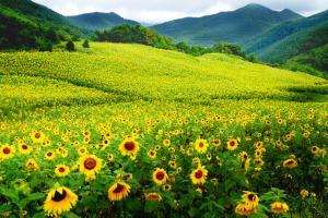 Lễ hội hoa hướng dương thành phố Taebaek, tỉnh Gangwon